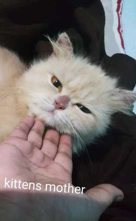 Persian kitten male and female available