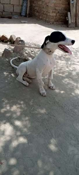 Pointer female 3 month age