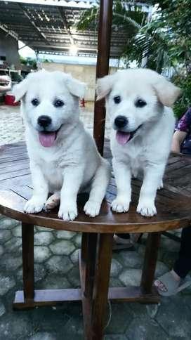 Jual Anak Anjing Kintamani Aseli di Bandar Lampung