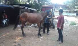 kuda tunggang pacu G3 coklat
