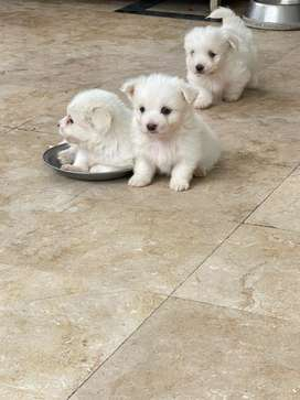 Russian toy dogs/ puppies