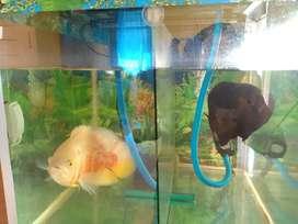 di jual ikan Oskar 2 harga 400 ribu Rp