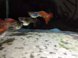 Jual ikan guppy metal red lace
