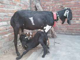 Bakri dasi with two baby's