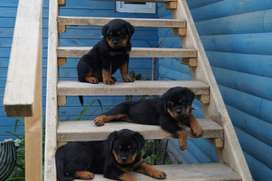 Highly pedigree top lines rottwiler puppies available