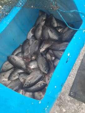 Cari ikan gurami konsumsi berat 1 kg 4 ekor