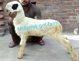 MUNDRA SHEEP