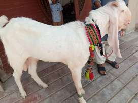 kamori Gulabi goat for sale.