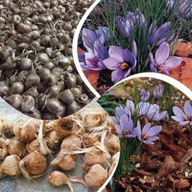 Hi Friends We Have Different Types Of Zaffron or Saffron Seeds/Bulbs