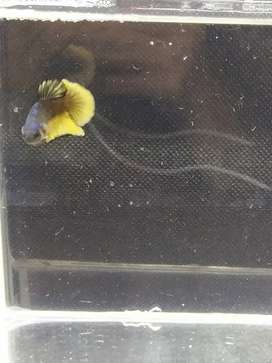 Ikan cupang yellow fancy. (male)