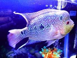 Kamfa fish ( flower horn)