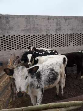 Heifers are available age 5 to 8month.