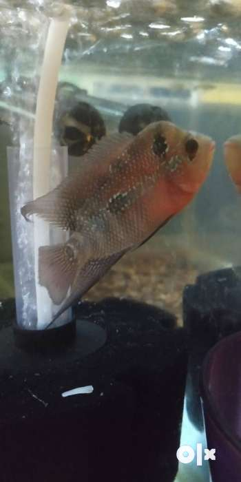 Flowerhorn imported fish good health contact no73585/43337 0