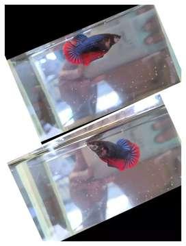 Ikan cupang betina besgel