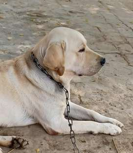 15 months Labrador male All points clear Apple head , Short tail