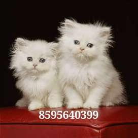 Well Trained Cute Persian Kittens and Cats Available