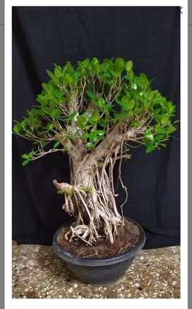 Ficus microcarpra