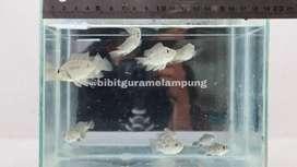Ikan Benih Jaya lampung #205