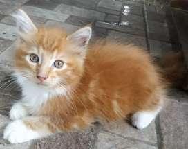 Kitten Mainecoon Pure - Male