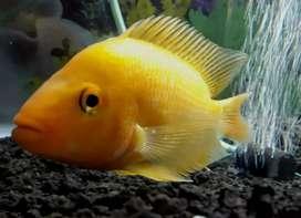 Ikan redevil reddevil red devil oscar louhan murah ajah