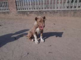 Dog for sale 15000