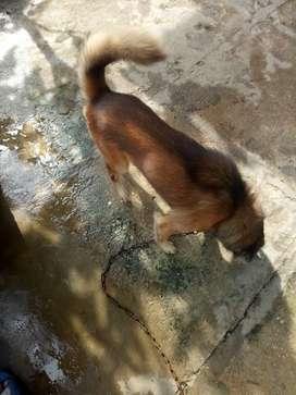 Jual anjing jantan  kampung sehat