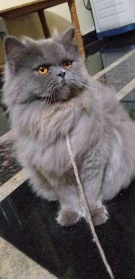 Parsion cats