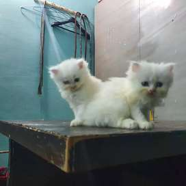 Pure Persian cat white colour