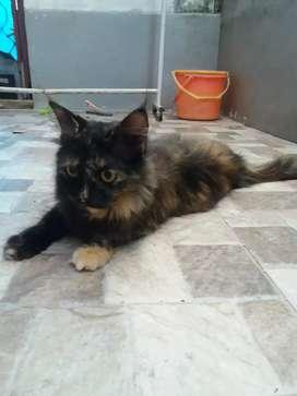 Lepas adopsi kucing persia medium betina