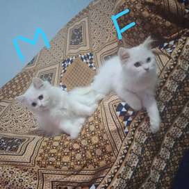 Persian cats available male and female