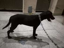Black labra male for sale age 8 months vaccinated