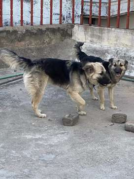 GERMAN SHEPHAD ALSATIAN CROSS