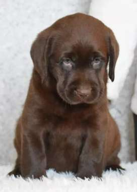 Imported chocolate Labrador pupp available