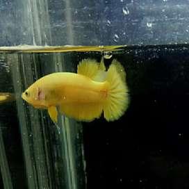 Ikan cupang yellow banana