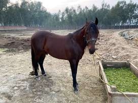 Beautiful Horse For Sale In Lahore