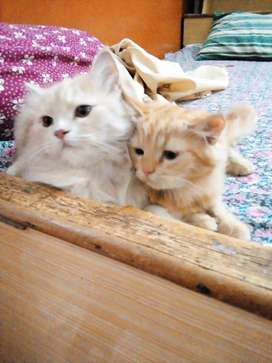 Persian Cat for Sale (Doll Face Pair)