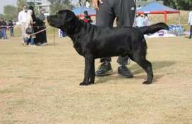 Pure imported pedigree black labrador   looking for new home