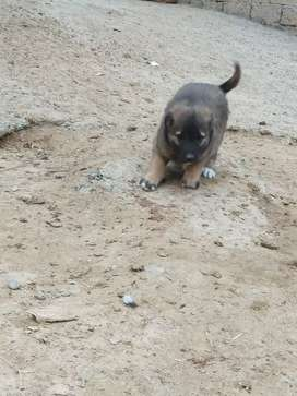 Afghan shepherd puppy  age 2 month whatsapp only