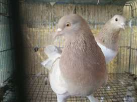 Pigeon pair for sale