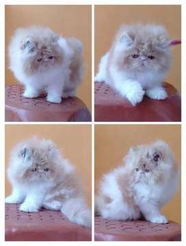 Kucing persia peaknose bulu super siap adopt