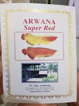 Sertifikat asal usul arwana dari kalimantan super red ada cheat no ser