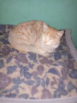 Pershion cat Female  For Sale