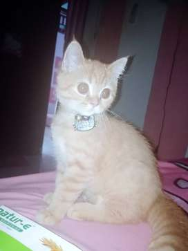 kucing persmed flatnose