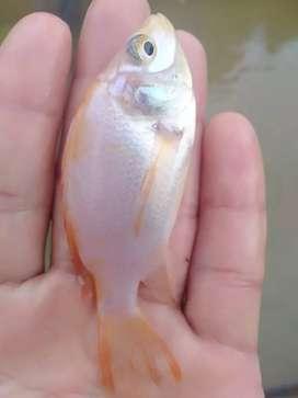 jual ikan nila merah bangkok