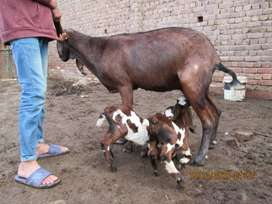 nagri goat with two female kidz age 20 days only .