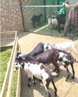 Teddy Goats for Sale