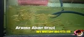 Arwana Albino Brazil