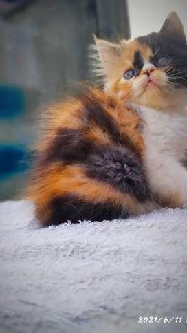 Kucing persia peacknose