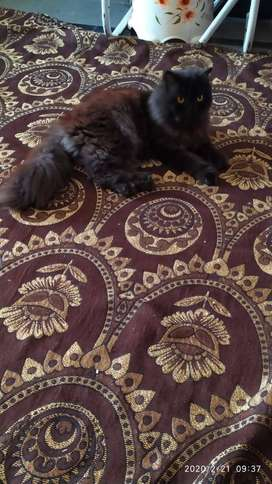 Double Fur persian cat for sale