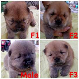 Puppies chow chow for book